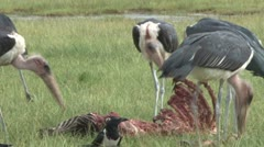 Storks eating a zebra Stock Footage
