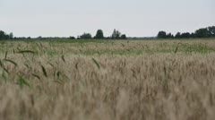 Rustling wheat in a field, foreground blurred Stock Footage