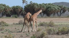 Giraffes fighting in the bush - stock footage