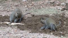 Monkeys feeding in the wild Stock Footage