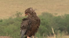 Vulture yawning Stock Footage