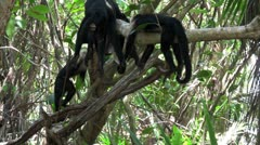 White-faced capucin monkeys play in a palm tree in Costa Rica. Stock Footage