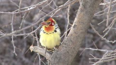 Yellow and red barbet Stock Footage