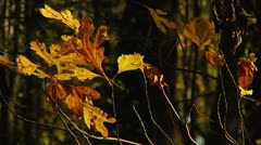 Fall foliage in the forest (LP-Voorhees-048) Stock Footage