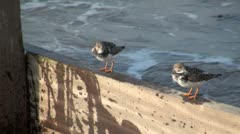 Turnstones Stock Footage