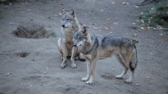 Wolf pack display in wilderness, Carnivore Animals, Endangered species, Wild Stock Footage