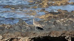 Whimbrel Stock Footage