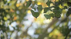 Quaking aspen leaves in early autumn Stock Footage