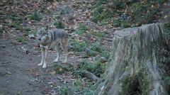 Gray Wolf, Herd of Wolves in Wilderness, Nature, Forest in Mountains - stock footage