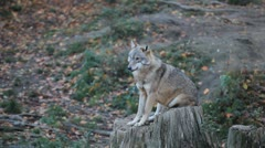 A small Pack of Eastern Timber Wolves in wilderness, dangerous hunters, predator Stock Footage