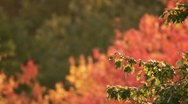 Stock Video Footage of Fall Foliage