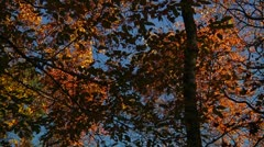 Full Fall Colors on trees (LP-Voorhees-071b) Stock Footage