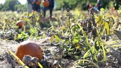 People collecting pumpkins on farm Stock Footage