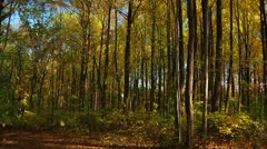 Falling leaves in the forest (LP-Voorhees-112a) Stock Footage