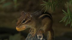 Chipmunk Perched with Peanut - stock footage