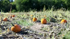 Field of multiple pumpkins in patch Stock Footage