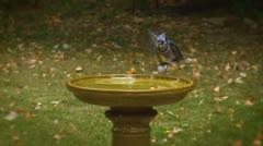 Blue jay slow motion on Green Birdbath Stock Footage