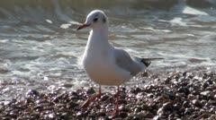 Black Headed Gull Winter Plumage Stock Footage