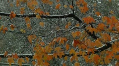 FSF06-Early snow precipitation in NJ, 2011: Fall's leaves & branches detail Stock Footage