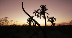4K 30p Arizona dusk typical sky colors behind a Jumping Cholla Cactus Stock Footage