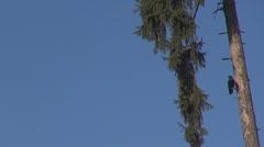 Beautiful crow tree gren sky blue black solitude hunt eat food beak perched  Stock Footage