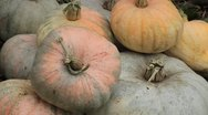 Stock Video Footage of Pumpkin, Vegetables BIO Farm, Ecological Farmer, Organic Horticulture