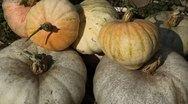 Pumpkin, Vegetables BIO Farm, Ecological Farmer, Organic Horticulture Stock Footage