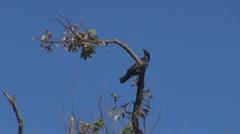 Beautiful crow tree gren sky blue black solitude top eat food beak perched  Stock Footage