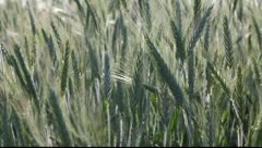 Wheat in spring Stock Footage
