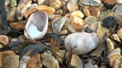Slipper Limpet Sea Shells on Beach Stock Footage