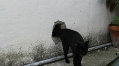 Black cat gets out from a hole in the wall. Stock Footage