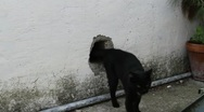 Stock Video Footage of Black cat gets out from a hole in the wall.