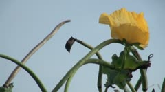 Yellow Horned Poppy Stock Footage