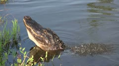 An alligator in the Everglads raises his head. - stock footage