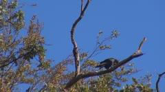 Beautiful crow Stock Footage