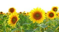 Sunflowers on a white background Stock Footage