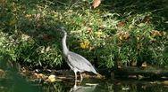 Grey heron Stock Footage