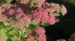 Honey bees feeding on sedum plants Stock Footage