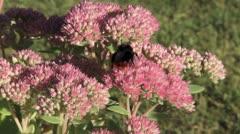 Bumlebee feeding on sedum plant Stock Footage