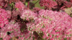Honey bees on sedum plant Stock Footage