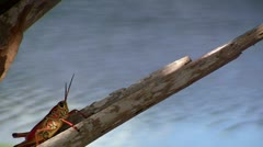 Lubber Grasshopper By The Water Stock Footage
