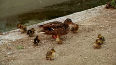 Mother duck with her chicks family by the water nature beauty outdoors Stock Footage