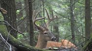Stock Video Footage of whitetail buck in velvet
