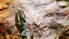 The dragon lizard Stock Footage