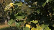 Stock Video Footage of Quince Tree, Pomaceous, Fruits Orchard, Ecological Farmer, Organic Horticulture
