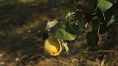 Quince Tree, Pomaceous, Fruits Orchard, Ecological Farmer, Organic Horticulture Stock Footage