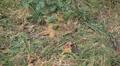 Walnut Tree, Juglans, Fruits Orchard, Ecological Farmer, Organic Horticulture Footage