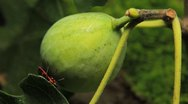 Common Figs, Exotic Fruit, Red Beetle around Stock Footage