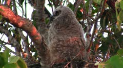 A great horned owl peers from the branches of a tree. Stock Footage