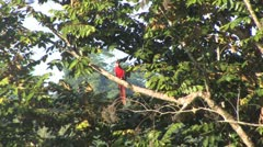 Scarlet macaw flyoff Stock Footage